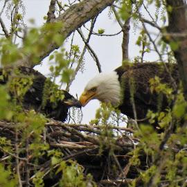 Beak to Beak by Kathy Woods Booth - Animals Birds ( raptors, raptor, birds of prey, beak, eagle, bald eagle )