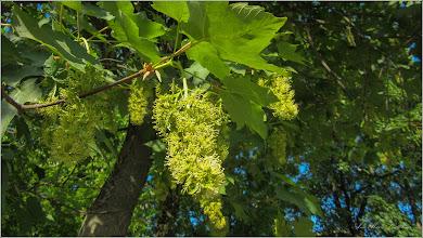 Photo: Arțar, Paltin de munte - (Acer pseudoplatanus) pe Str. Avram Iancu, parculet - 2018.05.07