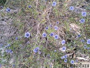 Photo: Blåa fina blommor hittar vi på ett ställe