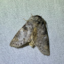 Linden Prominent