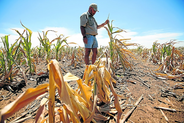 BARREN: Paul van der Walt examines the failed maize crop on his drought-hit farm. File Picture: SUNDAY TIMES