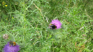 Photo: Biene und Hummel friedlich benachbart (Kursbrink).