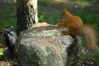 Photo: Woodpecker - baby squirrel stand-off