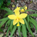 Yellow Ground Orchid (Spathoglottis)