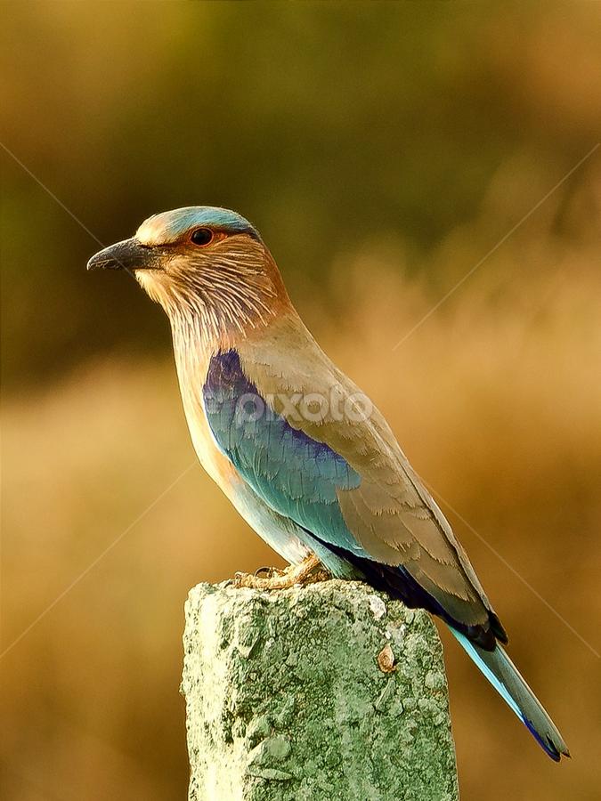 Roll on by Priyank Jha - Animals Birds ( nikon d5100, wildlife, india, birds, raipur, indian roller )
