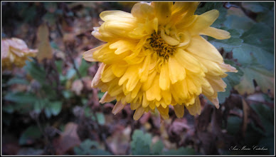 Photo: Crizantema - de pe Calea Victoriei, B15 - 2017.11.28