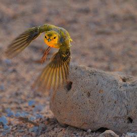 Finch from Galapagos by Tomasz Budziak - Animals Birds ( animals, ecuador, galapagos, birds )