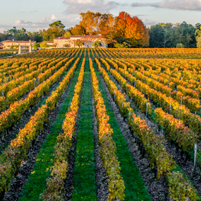 Vineyard, Bordeaux  by Benjamin Arthur - Landscapes Prairies, Meadows & Fields ( wine, vineyard, bordeaux, france )