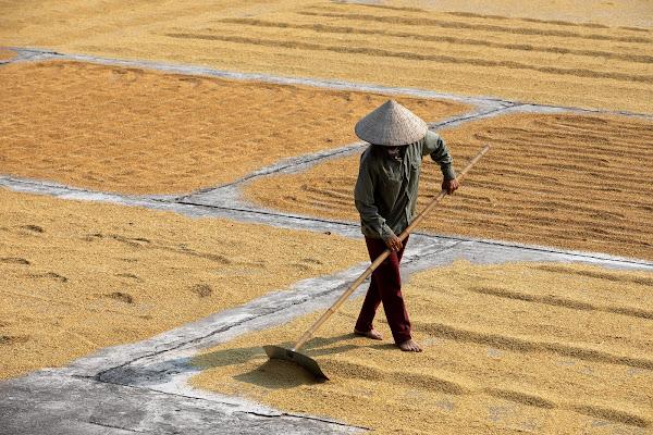 Essicazione del riso di Giulio61