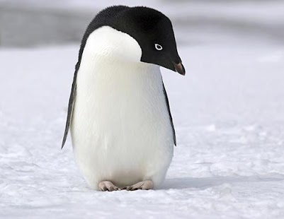 Adelie Penguin Live Wallpaper