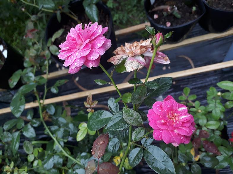 Hồng sọc tím Blue Boy rose cho hoa thành từng chùm từ 4-8 bông hoa. Kiểu hoa chùm thế này khá giống với hồng Nhật Bản Aoi