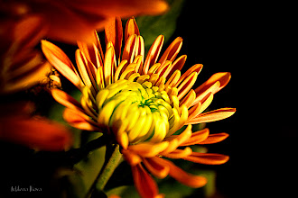 Photo: ...magic...  Happy Friday/Floral Friday, Everyone....  With this orange chrysanthemum I wish you All Lovely day and a Wonderful Weekend  :)  Contribution to #floralfriday  +FloralFriday by +Tamara Pruessner; #breakfastclub  +Breakfast Club by +Gemma Costa and +Andrea Martinez; #10000photographersaroundtheworld +10000 PHOTOGRAPHERS around the World by +Robert SKREINER; #canon   #canonusers +Canon Users; #plusphotoextract   #PlusPhotoExtract #photography #potd ;  View larger image and more works from Yellow/Orange Floral Gallery: http://milenailieva.smugmug.com/Galleries/Floral/23811668_LzCs5Q#!i=2245761842&k=txgRMsZ