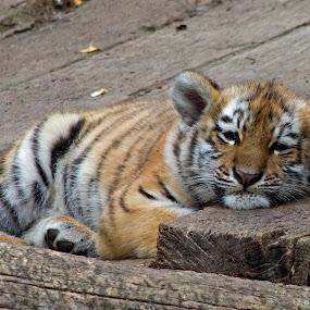 Tiger Baby by Jürgen Mayer - Animals Lions, Tigers & Big Cats ( tierbaby, cat of prey, cat, tiger, raubkatze, raubtier, tier, baby, animal )