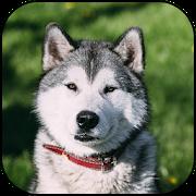 Husky Dog Wallpapers