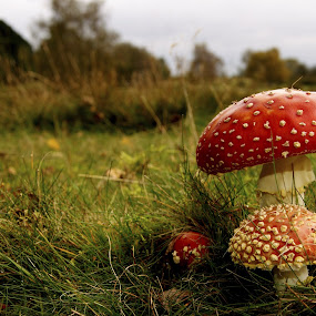 amanitas by Mihai Cristian - Nature Up Close Mushrooms & Fungi ( fungi, red, great, redhat, mashroom,  )