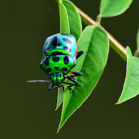 GREEN JEWEL BUG-Chrysocoris stolli by Gourab Mitra - Animals Insects & Spiders (  )