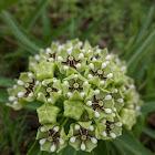 Antelope horn milkweed