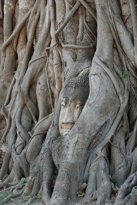 Eingewachsener Buddhakopf im Wat Mahathat in der alte Königsstadt Ayutthaya