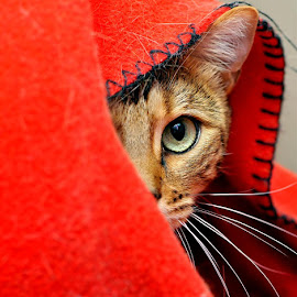 Shy by Josh Norem - Animals - Cats Portraits ( cats, cat, kitten, kittens, feline, bengal )