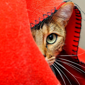 Shy by Josh Norem - Animals - Cats Portraits ( cats, cat, kitten, kittens, feline, bengal )