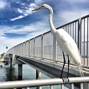 Majestic egret by Marianne Ang - Instagram & Mobile iPhone ( clearwater beach, bird, heron, egret )