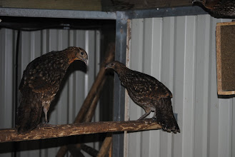 Photo: young male Tragopan caboti on the left and female on teh right