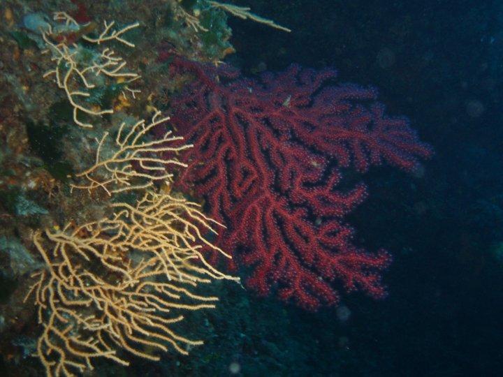 Coralli della sardegna di patata_67