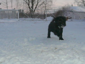Photo: Bantam Shepherd´s Rihanna, 6 weeks, first time outside, -15C degrees.