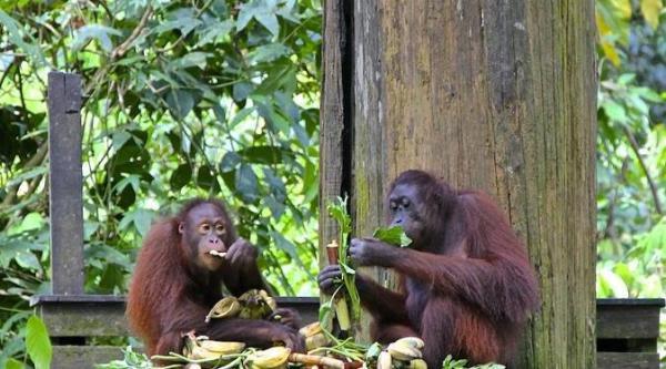 Centro de Reabilitação de Orangotangos Sandakan Sepilok
