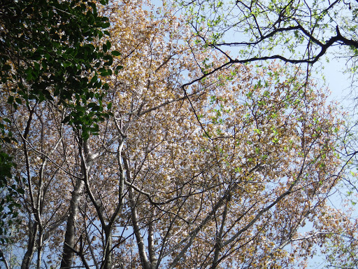 元気山の山桜