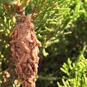 Evergreen Bagworm Moth
