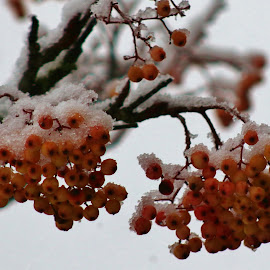 snow berries by Frank Gray - Nature Up Close Other plants