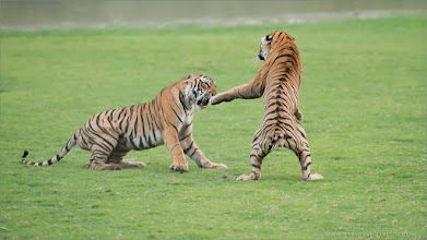 Photo: #india #tiger #cubs #raymondbarlow   Royal Bengal Tigers in Battle  Royal Bengal Tigers in Battle (edit 1) RJB India Photo Tours  Celebrating 100 Million Views on Google+ Today!  It seems the more I do to respect nature, keep my distance, and promote the concept of respect, the better my opportunities become.  plus.google.com/u/0/+RaymondBarlowphotography/posts  15 shots of this amazing battle that started with 3 Tiger cubs! More to come  www.raymondbarlow.com 1/2500s f/4.0 at 300.0mm iso5000  #photography #naturephotography #wildlife #royalbengaltiger