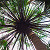 Cabbage Tree Palm (groves)