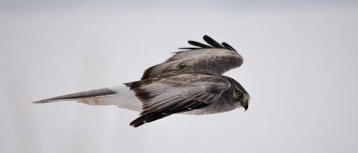 Photo: Northern Harrier, male