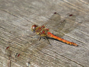 Photo: 14 Aug 13 Priorslee Lake: Two days ago a female Common Darter: here is the red-bodied adult male. (Ed Wilson)