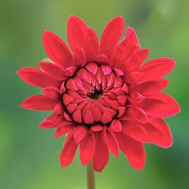 Deep red dahlia by Jim Downey - Flowers Single Flower ( red, green, dahlia, petals, flower )