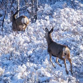 by Dan Kinghorn - Animals Other ( mule deer, snow deer, deer,  )