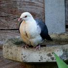 White-headed Pigeon - male