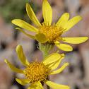 Dandelion-leaved Groundsel