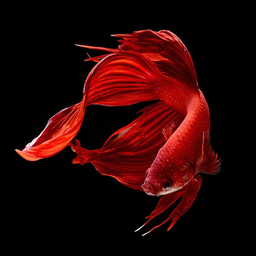 Wallpaper iphone cupang - Betta Fish Hd Screenshot