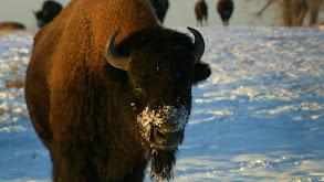 Bison Wranglers thumbnail