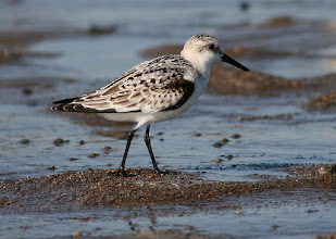 Photo: Immature Sanderling, Point Pelee NP, Ontario, Canada  For #BirdPoker curated by +Phil Armishaw