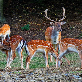 Deers by Andjela Miljan - Animals Other (  )
