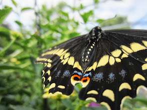 Photo: Black, yellow, blue, and orange butterfly's wings at the Cox Arboretum Butterfly House in Dayton, Ohio.