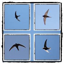 Photo: Tornseglare - Apus apus - Common Swift
