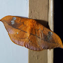 Jordan's Window Moth Female