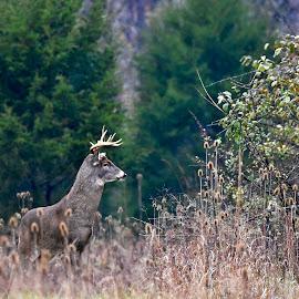 Nice looking buck by Jeff Sluder - Animals Other Mammals ( deer, rut, buck )