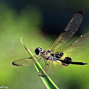 Common Plain Skimmer