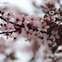 Thundercloud cherry plum tree